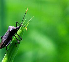 Squash Bug up Close  by Marcia Rubin