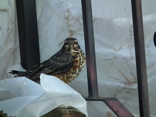 """Youthful Defiance - Fledgling Says """"Go Away!"""" by Deb Fedeler"""