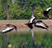 Black-Bellied Whistling Ducks in flight by Savannah Gibbs