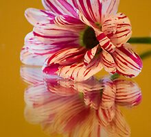 Striped Gerbera Reflections by Pixie Copley LRPS