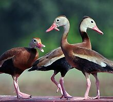 Black-Bellied Whistling Ducks  by Savannah Gibbs