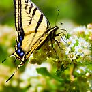 Two-tailed Swallowtail Butterfly by amontanaview