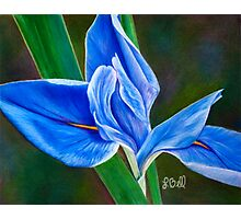 Beautiful Blue Flag Iris Flower - Fleur-de-lis from the Garden Photographic Print
