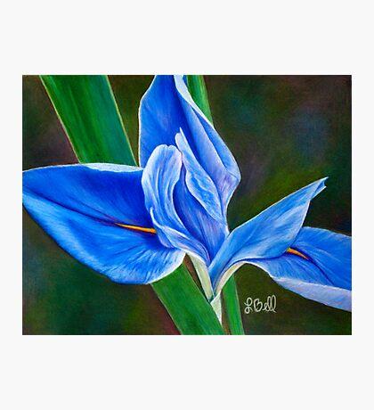 Beautiful Blue Flag Iris Flower - Fleur-de-lis from the Garden Photographic Print