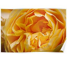 An English Rose Poster