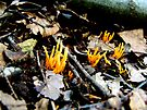 Orange Spindle Coral Fungi by Marcia Rubin
