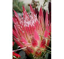 Anzac Native - In the Pink Photographic Print