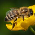 Honeybee taking some pollen by Mario Cehulic