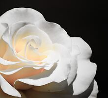 White Rose by Agro Films