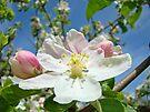 Apple Tree Blossom Flowers art prints Baslee Troutman by BasleeArtPrints
