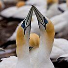 Gannet Greeting by tarnyacox