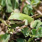 frog 3 by Barbara Anderson