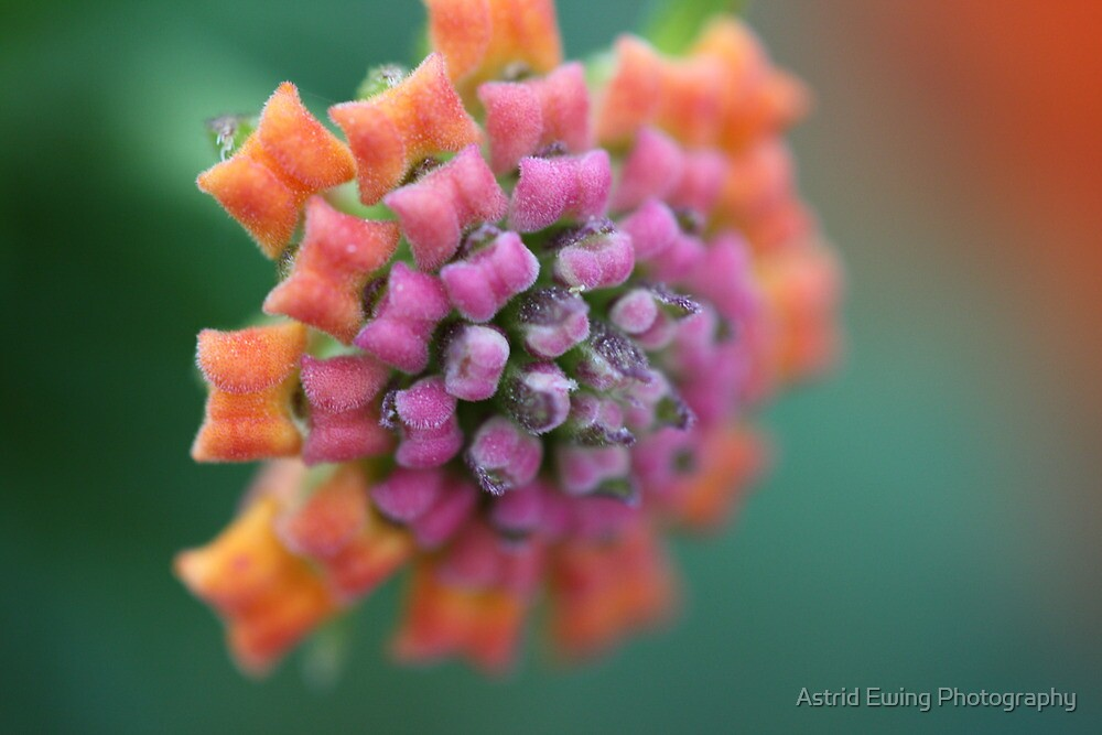 Butterfly Buds by Astrid Ewing Photography