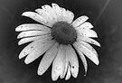 Simply Daisy by Tori Snow