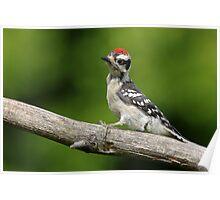 Downy Woodpecker fledgling Poster