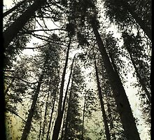 Pine Trees Reach For The Skies 1 - Yosemite National Park - Vintage by Matthew Floyd