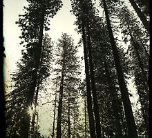 Pine Trees Reach For The Skies 2 - Yosemite National Park - Vintage by Matthew Floyd