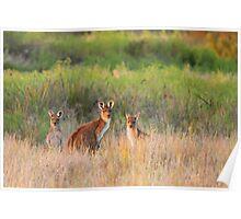 Kangaroo Family Poster
