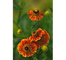 Summer Is Here - Helenium Photographic Print