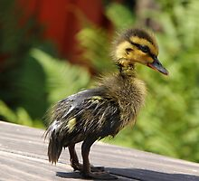"Duckling "" Tweety "" by RosiLorz"
