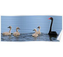 black swan and cygnets Poster