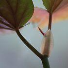 Begonia by Lynn Wiles