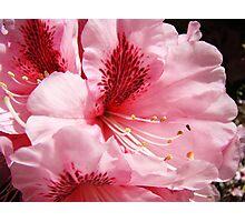 Pink Rhododendron Flower art prints Floral Garden Photographic Print