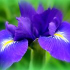 Late Spring Iris by kkphoto1