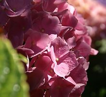 Colourful Hydrangeas by marens
