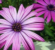 Purple Osteospermums by vivsworld