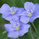 Blue Flax by Tracy Wazny