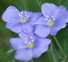Blue Flax by Tracy Faught