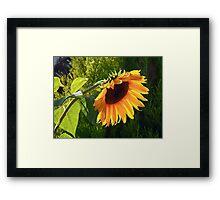 Sunflower - Helianthus  Framed Print