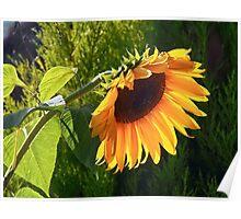Sunflower - Helianthus  Poster