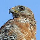 Red shouldered hawk profile by jozi1