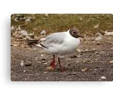 Black-Headed Gull Canvas Print