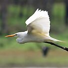 Intermediate Egret by triciaoshea