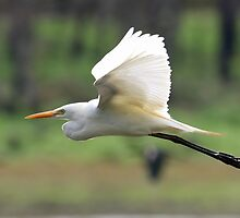 Intermediate Egret by triciaoshea