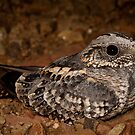 Spotted Nightjar by Henry  Cook