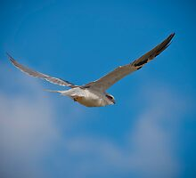 Black Shouldered Kite by 16images