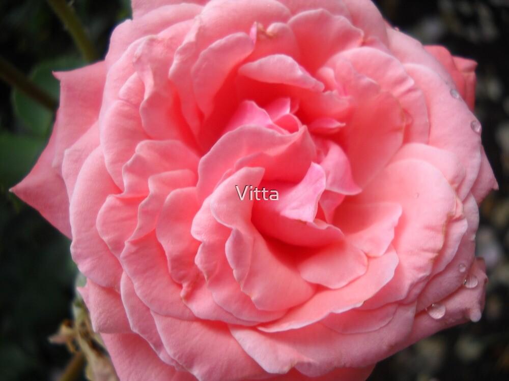 Amazing Roses. by Vitta