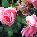Amazing Roses #11. by Vitta