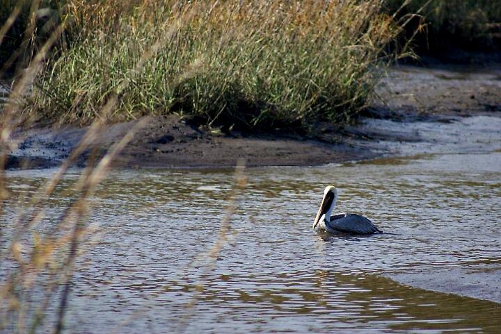 Pelican Swimming in the Marsh by MarenaAnne
