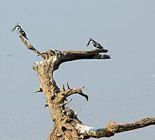 Fishing Kingfishers by Jennifer Sumpton