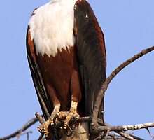 Majestic African Fish Eagle by Jennifer Sumpton