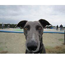 Doug the greyhound Photographic Print