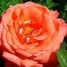 Fiery rose by Maria1606