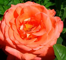 Fiery rose by Maria1606