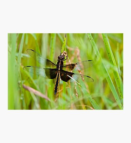 Widow Dragonfly Photographic Print