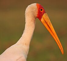 Yellow Billed Stork by Jennifer Sumpton